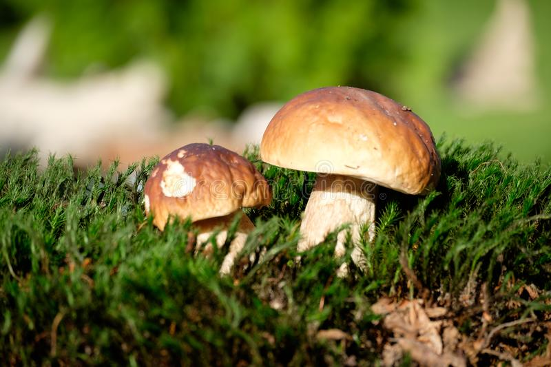 Boletus mushrooms on moss in the forest stock images