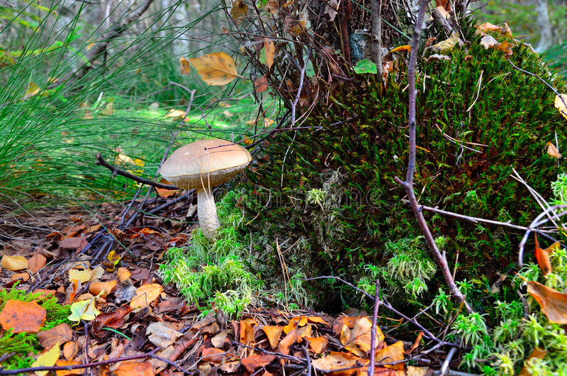 Boletus scaber (Leccinum scabrum) under the old birch. Boletus ordinary (lat. Leccinum scabrum) under the birch in the swamp royalty free stock photo