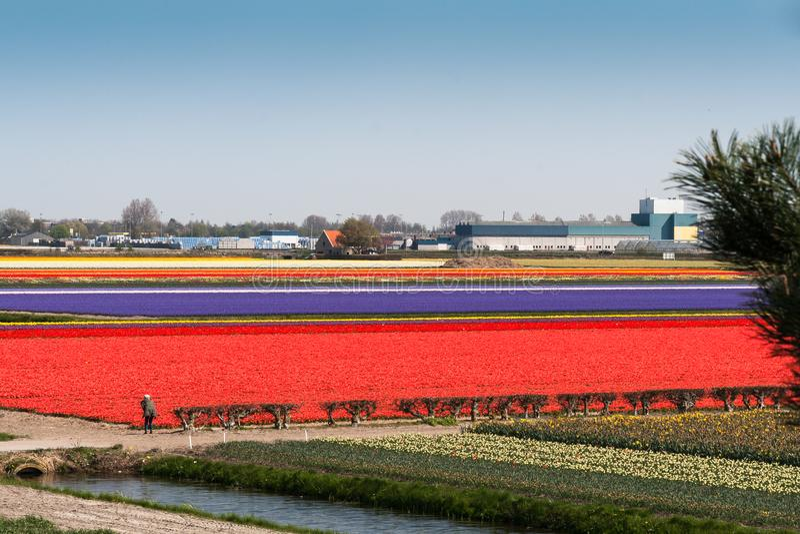 Bolgebieden in Keukenhof, de Nederlandse Openbare Tuin van de Lentebloemen stock fotografie
