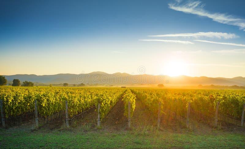 Bolgheri i Castagneto winniców wschodu słońca backlight Maremma Tus fotografia royalty free