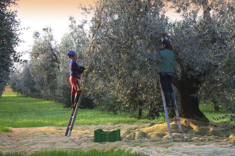 Bolgheri Tuscany, olivgrön skörd som producerar den berömda extrahjälpen vir royaltyfria foton