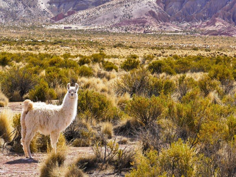 Bolivia, Andes region, llama stock photos