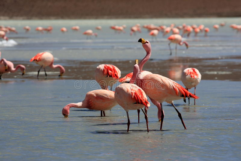 bolivia flamingoslake royaltyfri foto