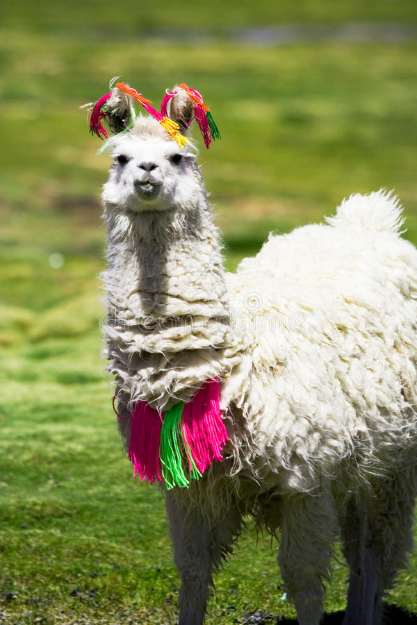 bolivia llama arkivbilder