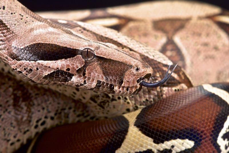Boliviaanse boa (Boaconstrictor amarali) royalty-vrije stock afbeelding