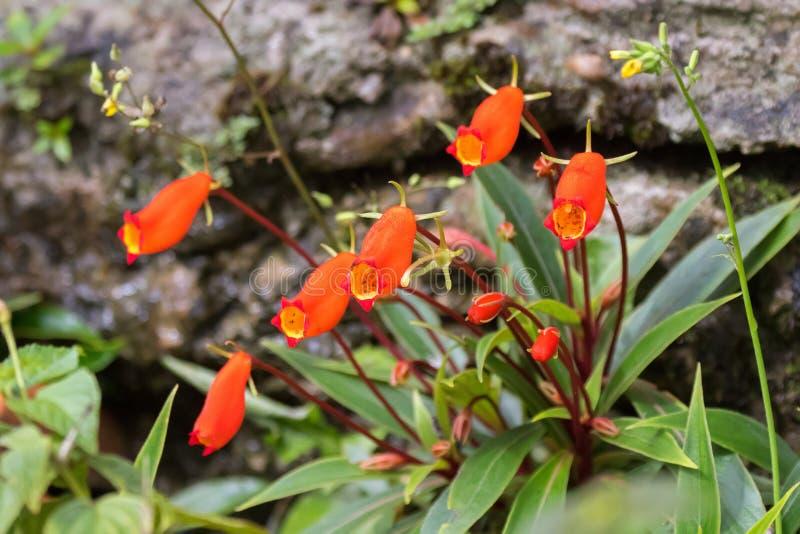 Boliviaanse Zonsondergangbloem in rode oranje, kleurrijke houseplant growin stock fotografie