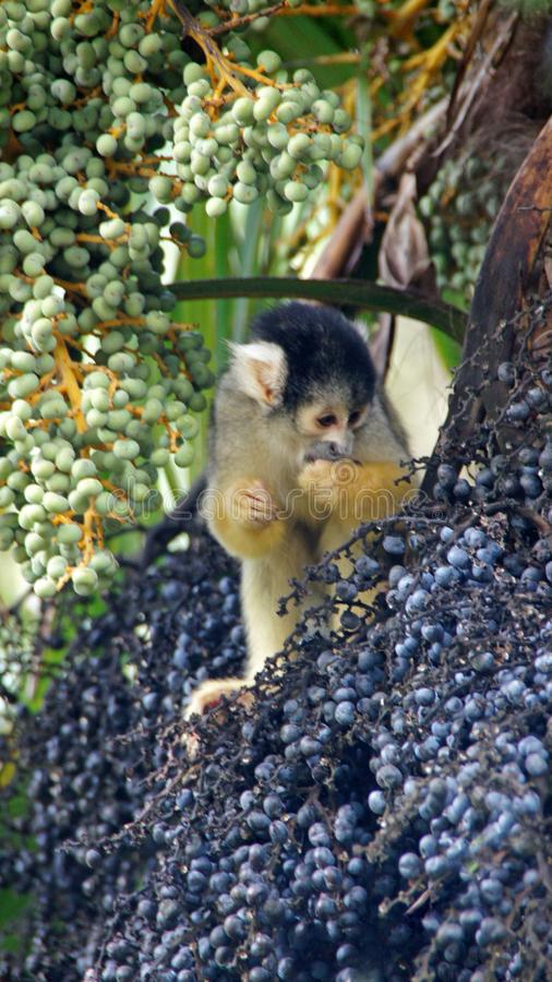 Bolivian squirrel monkey eating fruits in tree. Cute Squirrel monkey, Saimiri boliviensis picking fruits in palm tree royalty free stock photo