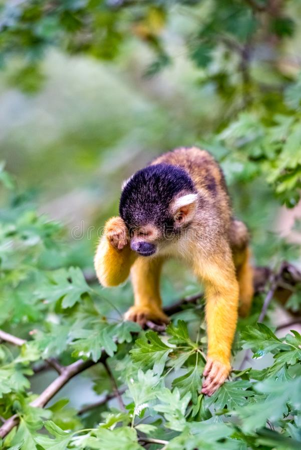 Bolivian squirrel monkey has slept. And drives sleep out of his eyes stock images