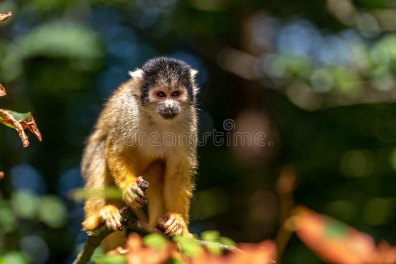 Boliwijska wiewiórcza małpa jest przyglądająca gałąź obrazy stock