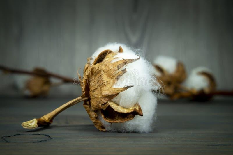 Boll de algodão com algodão natural fotografia de stock