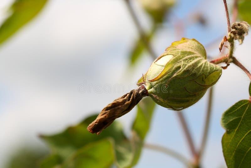 Boll de algodão orgânico Boll de algodão pendurado na fábrica de algodão imagens de stock