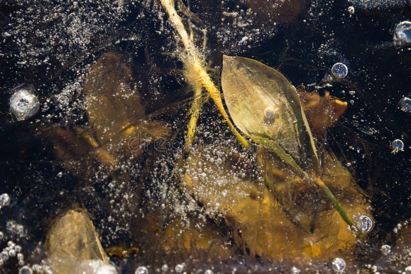 Bolle e foglie bloccate in ghiaccio immagine stock libera da diritti