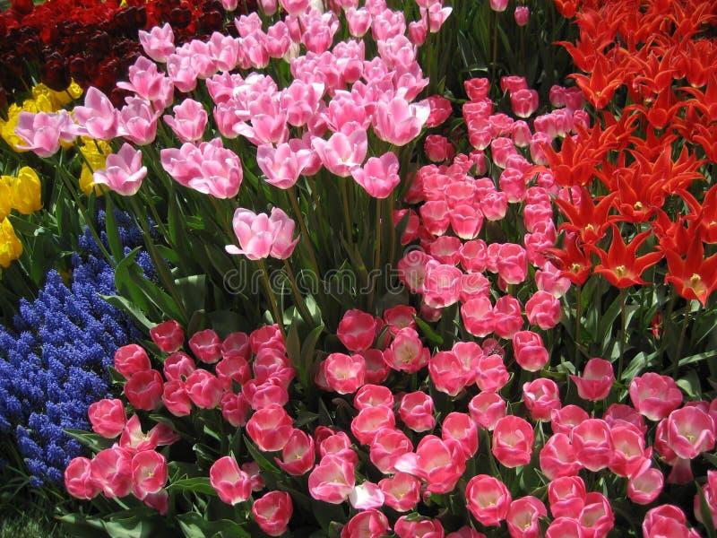 Bollen van de lente stock afbeeldingen