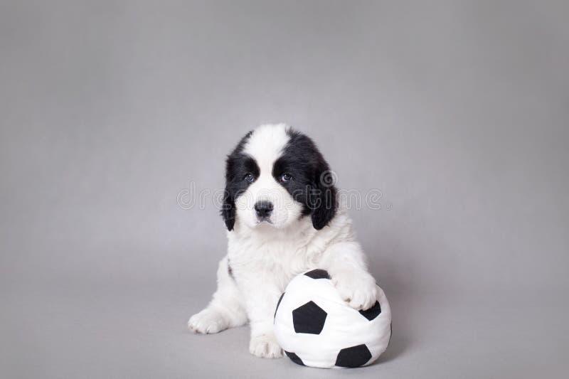 bolllandseer little ståendevalpfotboll royaltyfri bild