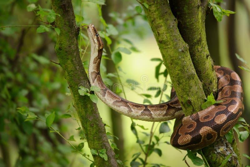 Bollpytonormklättring på träd pytonormkunglig person Stark orm arkivfoton