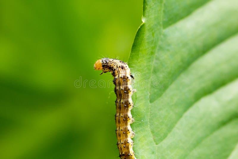 Bollworm di cotone sulle foglie fotografia stock libera da diritti