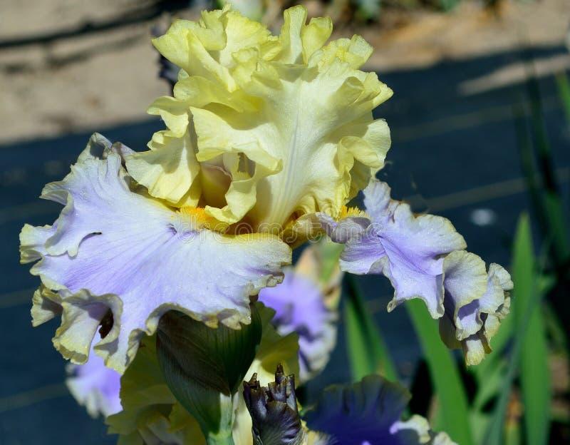 Bollywood Gebaarde Iris stock fotografie