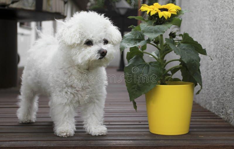 bolognese солнцецвет собаки стоковое фото