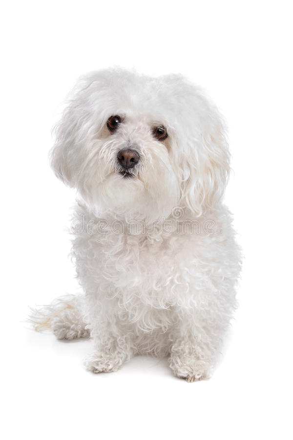Bolognese dog. In front of a white background stock photo