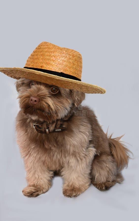 Bolonka с bobble шляпа стоковые изображения