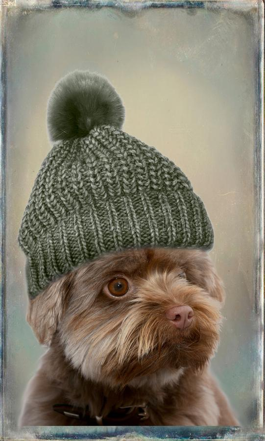 Bolonka with bobble hat. Portrait of a young bolonka zwetna with gray bobble hat. Ideal for your mobile cell phone or as wallpaper for childrens room