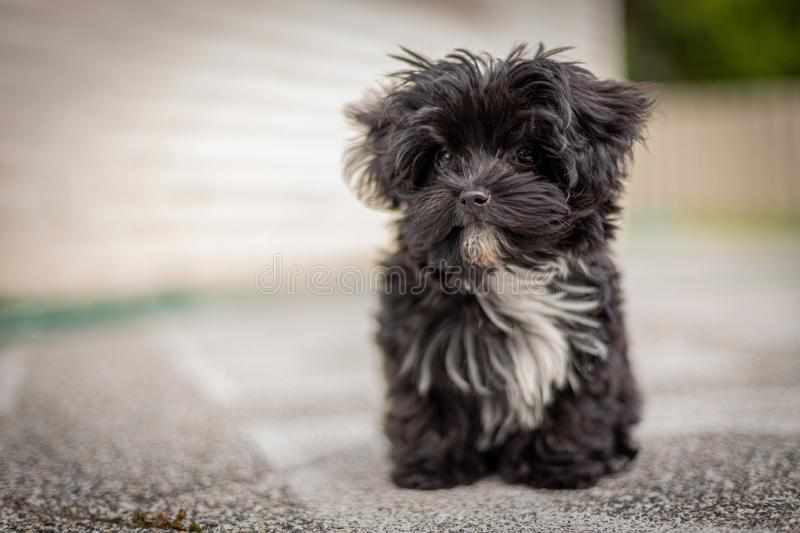 Bolonka Zvetna puppy posing in front of the camera. A Bolonka Zvetna puppy posing in front of the camera stock photography