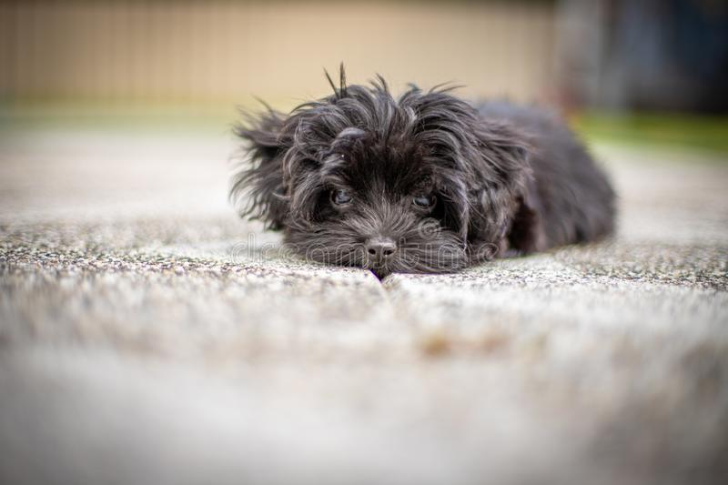 Bolonka Zvetna puppy posing in front of the camera. A Bolonka Zvetna puppy posing in front of the camera royalty free stock image