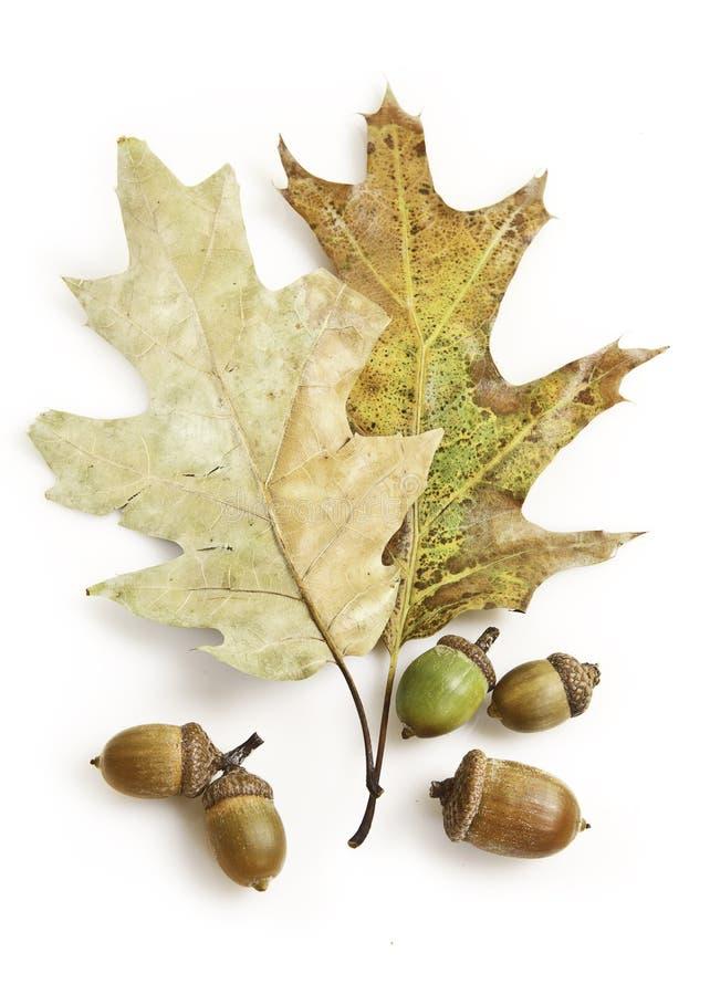 Download Bolota imagem de stock. Imagem de foliage, estúdio, bolota - 16310059