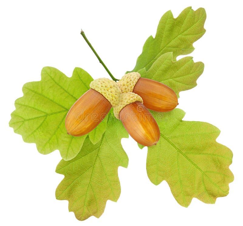 Bolota isolada Folha do carvalho do verde do grupo e fruto maduro da bolota na haste isolada no fundo branco como o elemento do p fotografia de stock