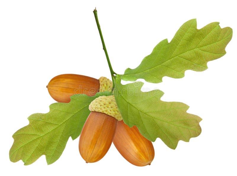 Bolota isolada Três bolotas marrons maduras no ramo com as folhas verdes do carvalho isoladas no fundo branco foto de stock royalty free