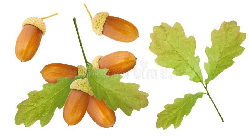 Bolota isolada Um grupo de bolotas marrons maduras no ramo com folhas do carvalho e a única bolota e no ramo isolado no fundo bra imagens de stock royalty free