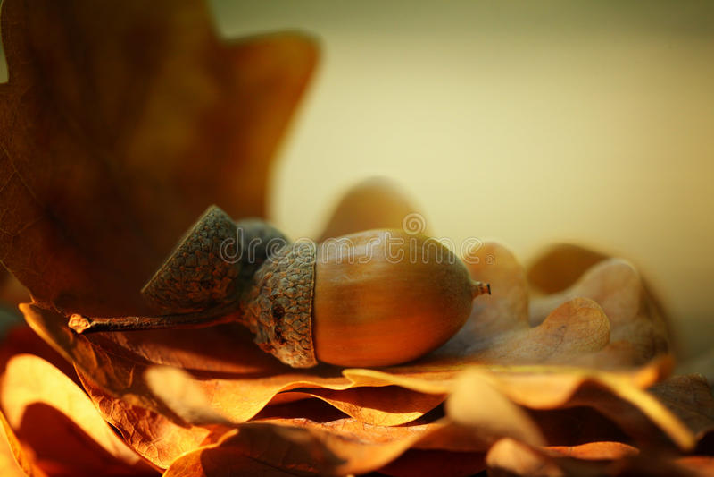 Bolotas do carvalho das folhas de outono imagem de stock royalty free