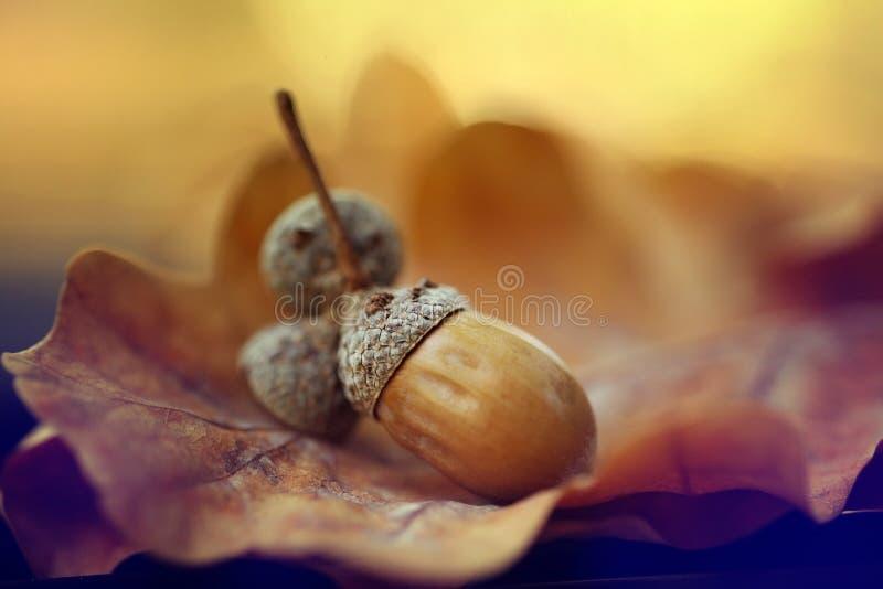 Bolotas do carvalho das folhas de outono de Brown imagens de stock royalty free