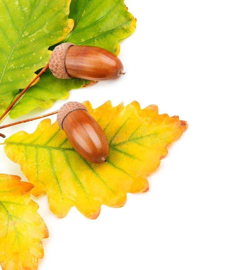 Bolotas e folhas do carvalho fotos de stock