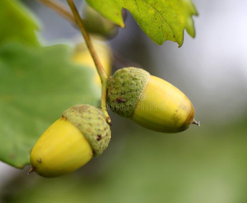 Bolotas verdes nos ramos do carvalho fotos de stock royalty free