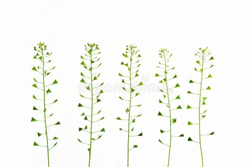 Bolso de la hierba del pastor Remedio homeopático, hierbas medicinales Imagen aislada foto de archivo