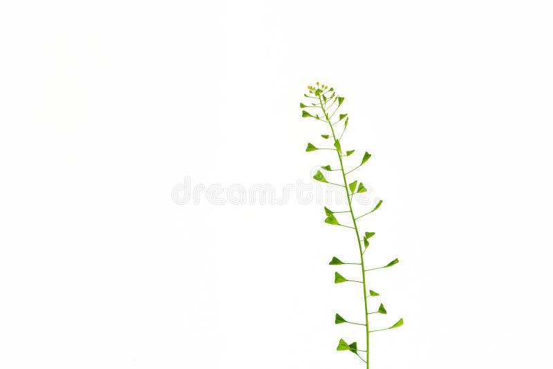 Bolso de la hierba del pastor Remedio homeopático, hierbas medicinales Imagen aislada fotografía de archivo libre de regalías