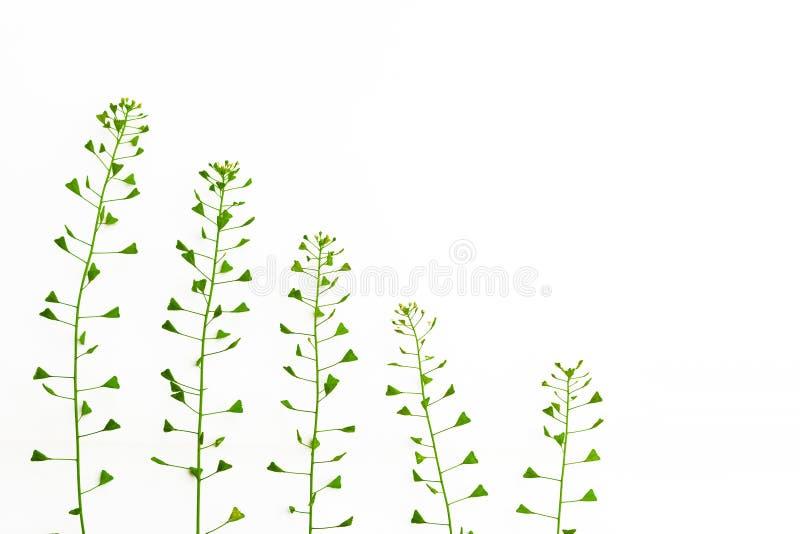 Bolso de la hierba del pastor Remedio homeopático, hierbas medicinales imagen imagen de archivo libre de regalías