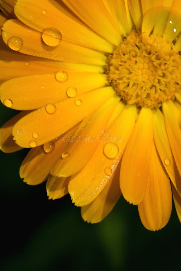 bolus zbliżenia kwiatu gerbera jamesonii kolor żółty zdjęcia royalty free