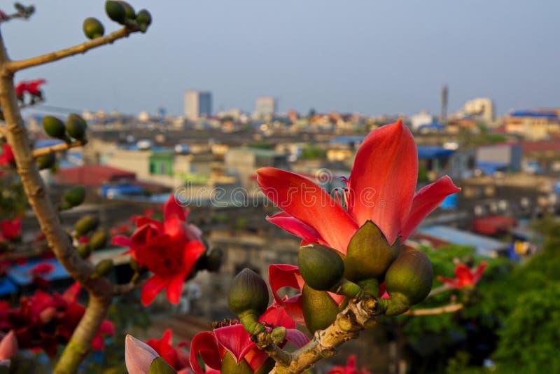 Bombaxblomningar som blommar över den Namdinh staden, Vietnam royaltyfri bild