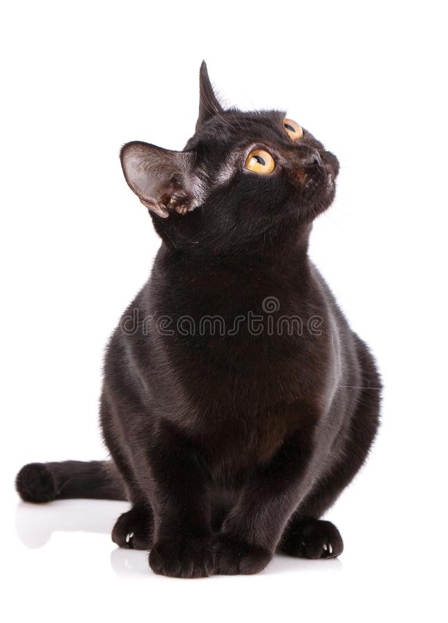 Bombay Black Cat bent a puma on a white background royalty free stock photos