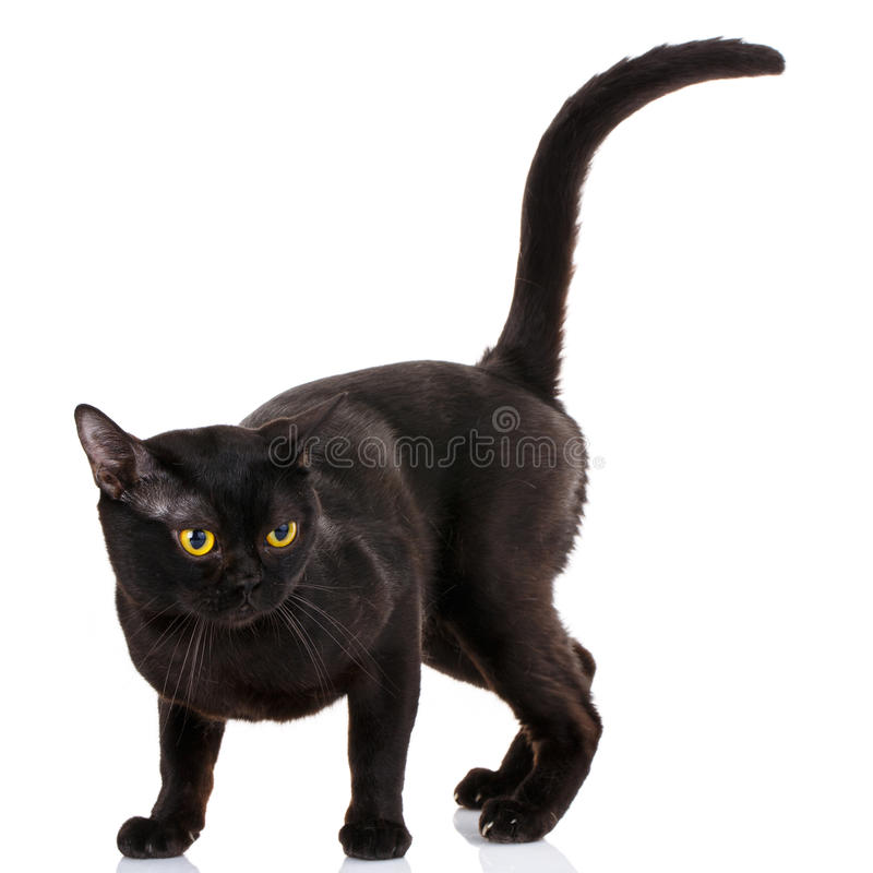 Bombay black cat on a white background. With a climb up the tail stock image