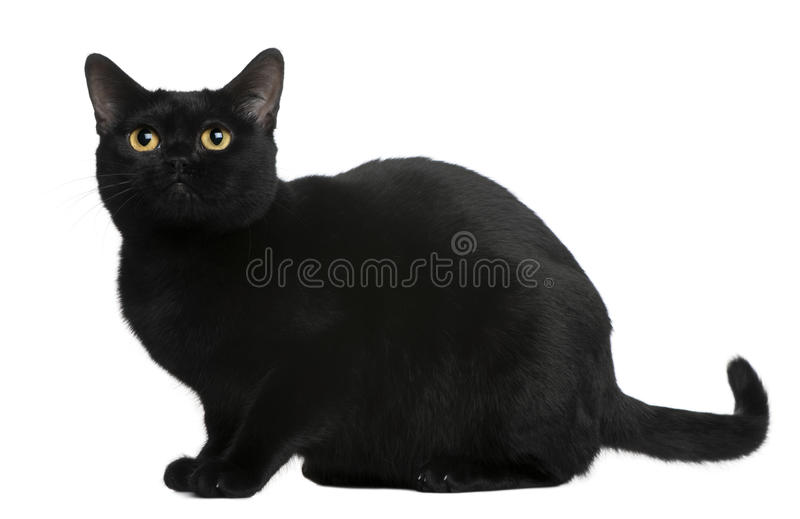 Bombay cat, 8 months old stock photo