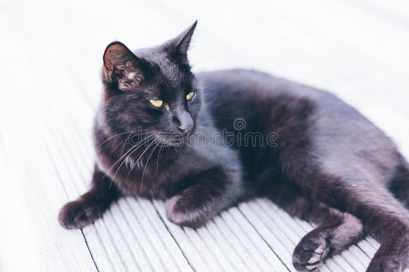 Bombay Cat on Grey Ground stock photography