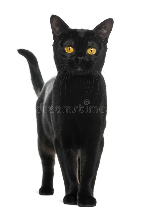Download Bombay Cat Looking At The Camera Stock Photo - Image: 30338990