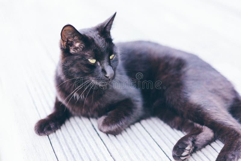 Bombay Cat sur le sol gris photographie stock