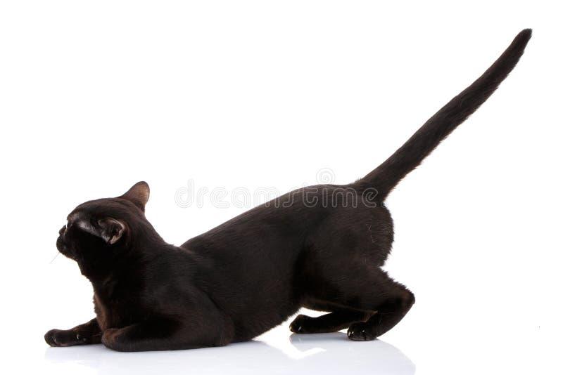 Bombay czarnego kota obsiadanie na frontowych łapach kieruje tai, spojrzenia prosto naprzód obrazy stock