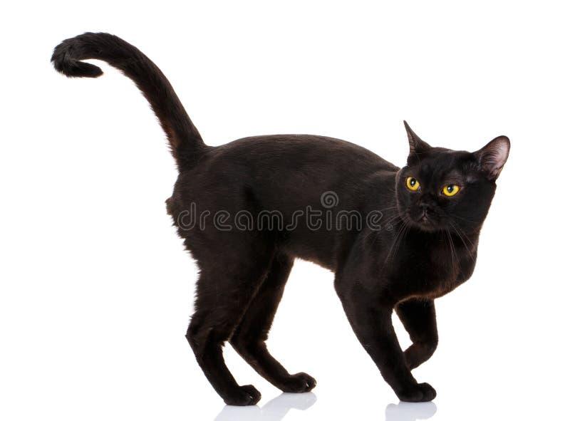 Bombay czarny kot na białym tle zdjęcie royalty free