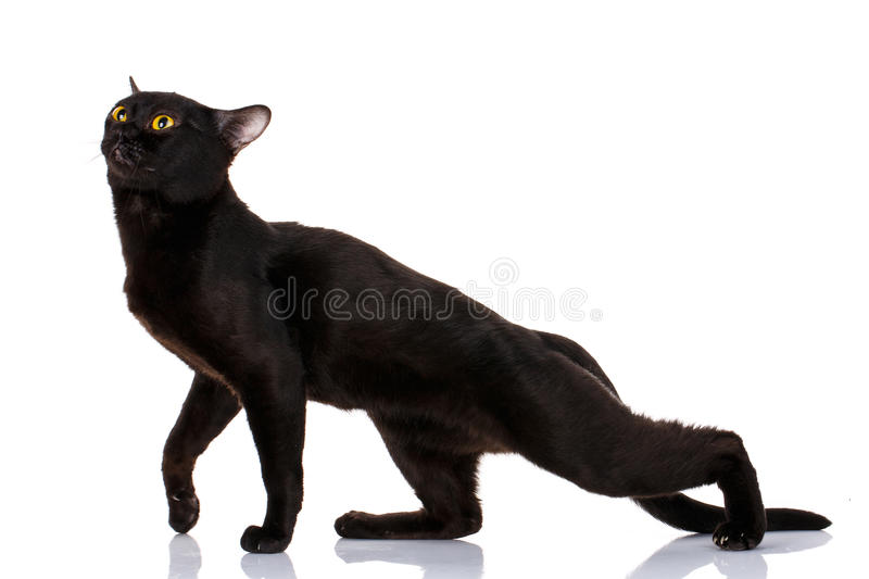 Bombay Czarny kot zginał pumy zdjęcie stock