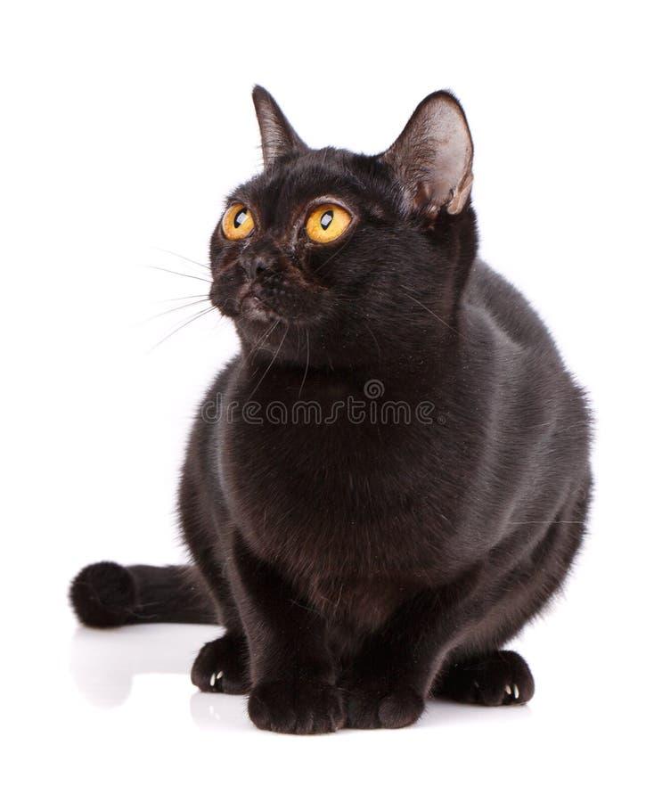 Bombay Czarny kot zginał pumy na białym tle obrazy stock